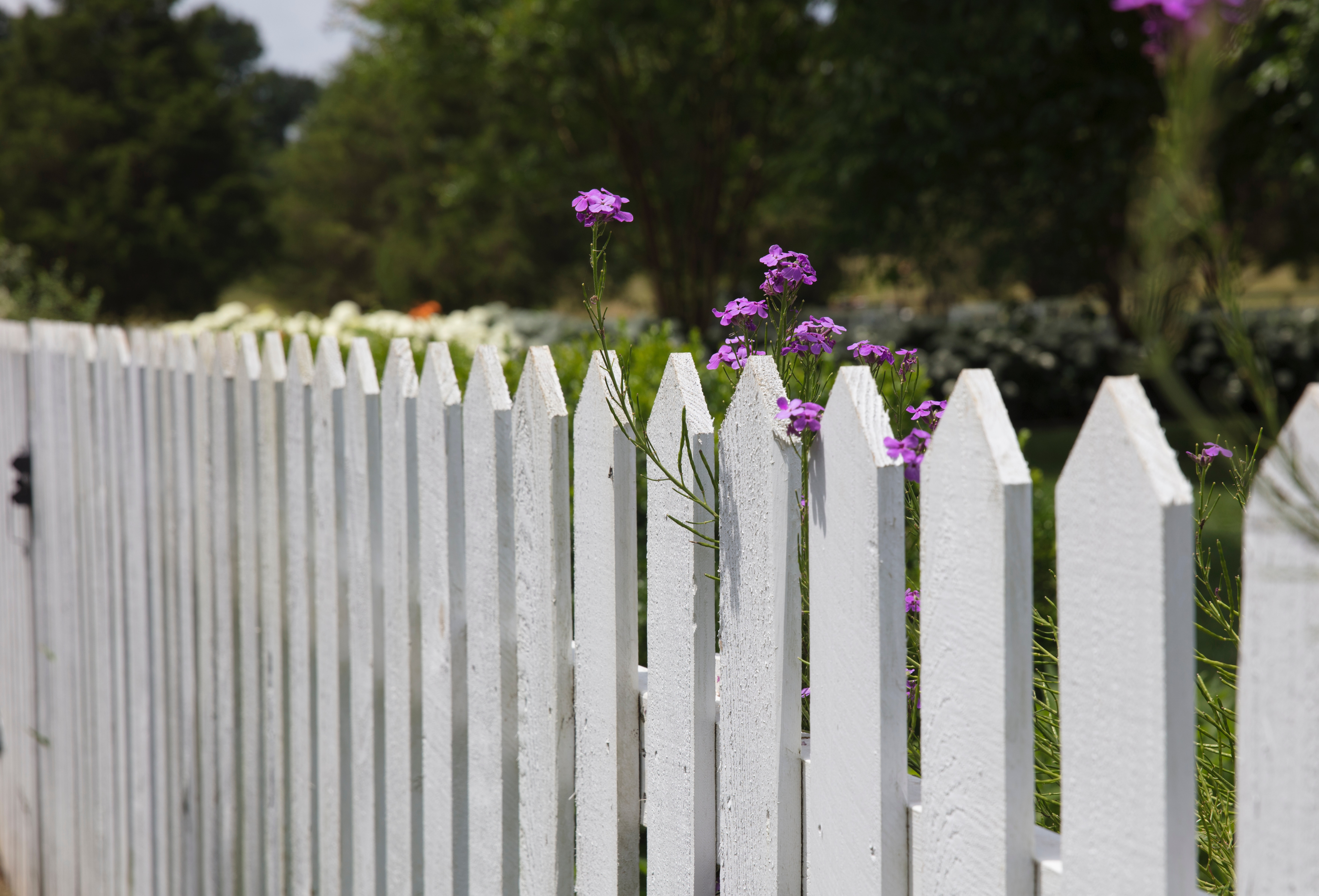 Pink petaled flowers blooms near white, picket fence.